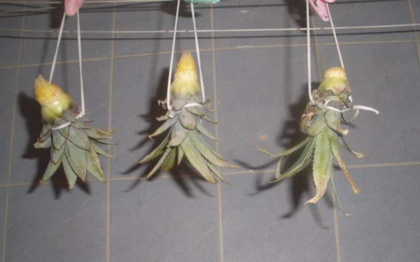 Просушивание верхушек ананаса