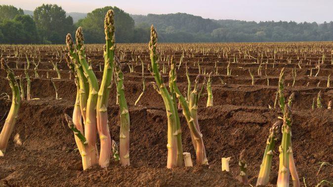 Спаржа плантациясы
