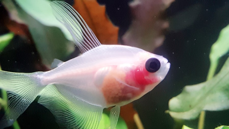 Pregnant White Skirt Tetra. Are They Live Bearers? | My ...