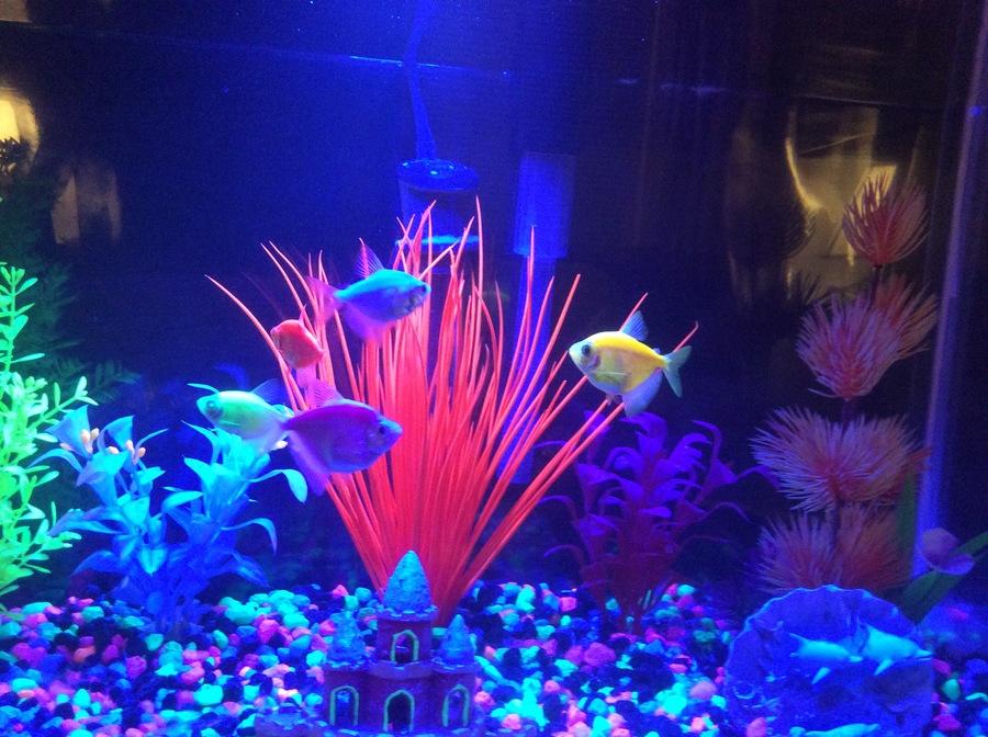 Are My Glo Fish Pregnant??? | My Aquarium Club