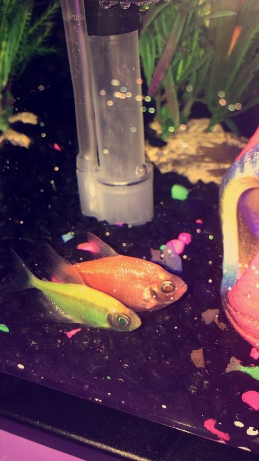 Is My Tetra Glofish Pregnant? | My Aquarium Club