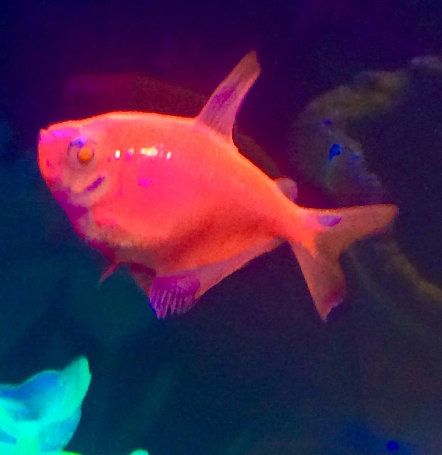 Glo Fish | My Aquarium Club