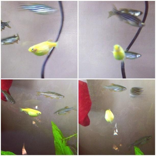 What's Going On With My Glofish Danio | My Aquarium Club