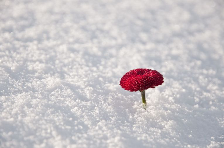 A flower in the snow   D  Van Heest flowers in the snow