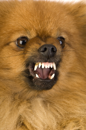 fatal dog attack on infant by pomeranian in california