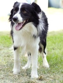 Border-Collie-e1385529840416