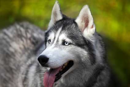 Siberian Huskies Join List Of Blacklisted Dog Breeds Dog Expert