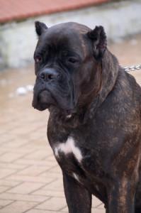 Cane Corso fatal dog attack in New York