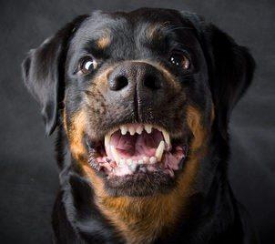 Rottweiler Attack Nets 250k For Dog Bite Victim In Utah