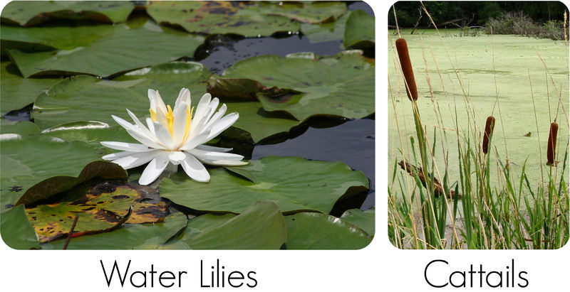Water Plants Names