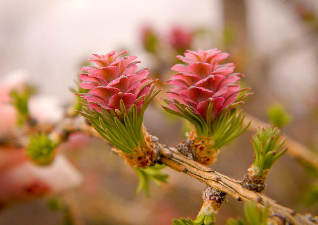 ต้นสนจีนสีชมพู