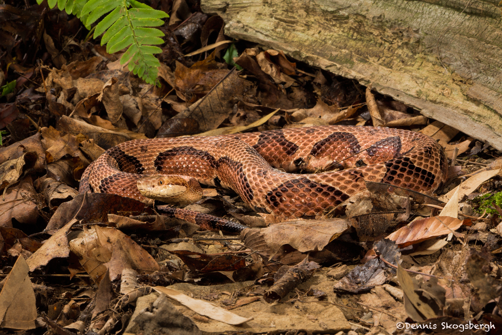 northern copperhead map - 1024×683