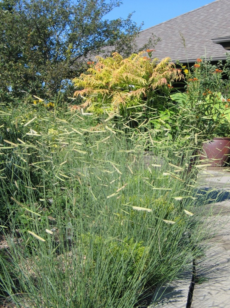 Five Grasses You Should Be Using In Your Landscape Dyck