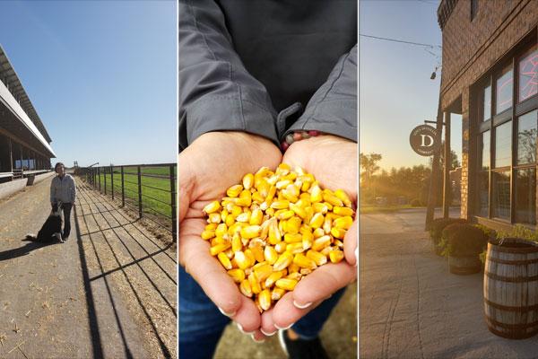 Corn freshly harvested from farm