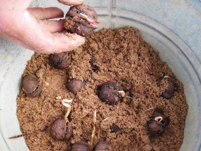 Semplici consigli, come coltivare la noce di noce in autunno
