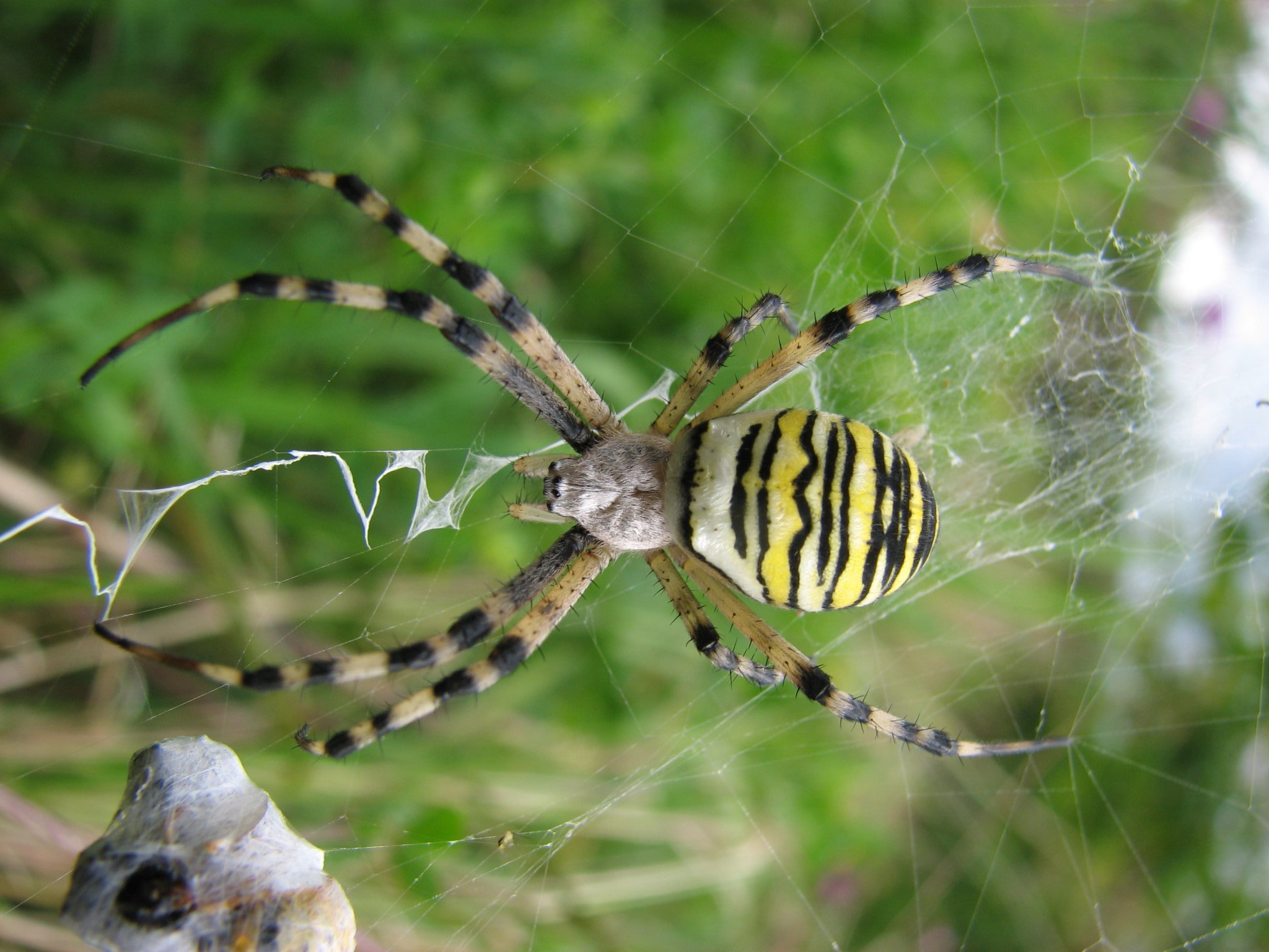 Wasp Spider Empire Pest Control London