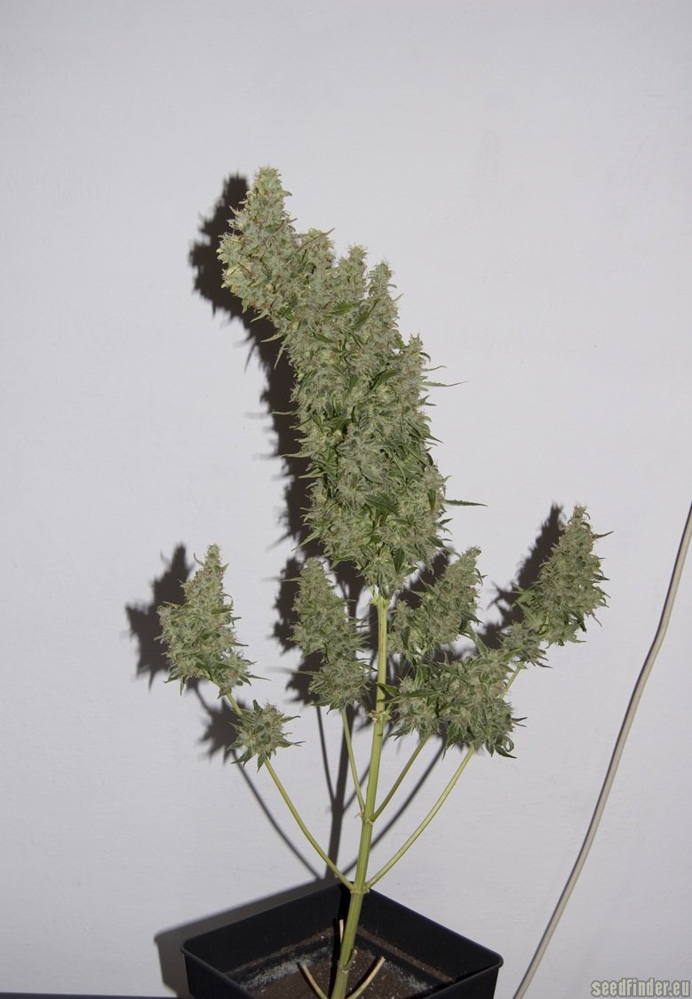 Fruit Automatic By Dinafem Seedfinder Strain Info