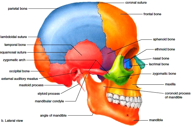Top Of Skull Anatomy Diagram - Electrical Wiring Diagram House •