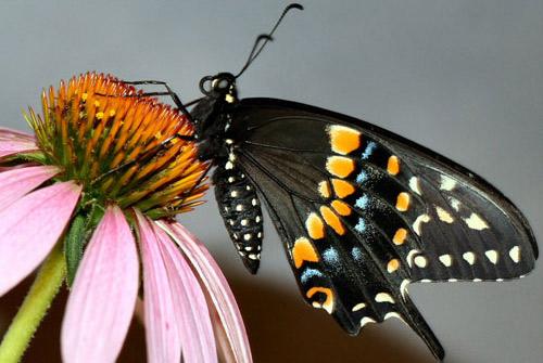 eastern black swallowtail - Papilio polyxenes asterius