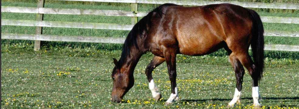 Stomach Endoscopy Equine