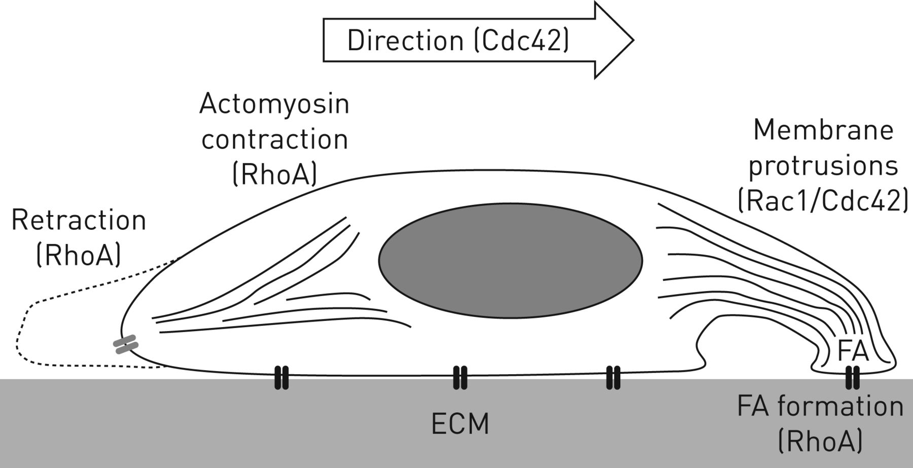 Migration And Cell Adhesion Focal