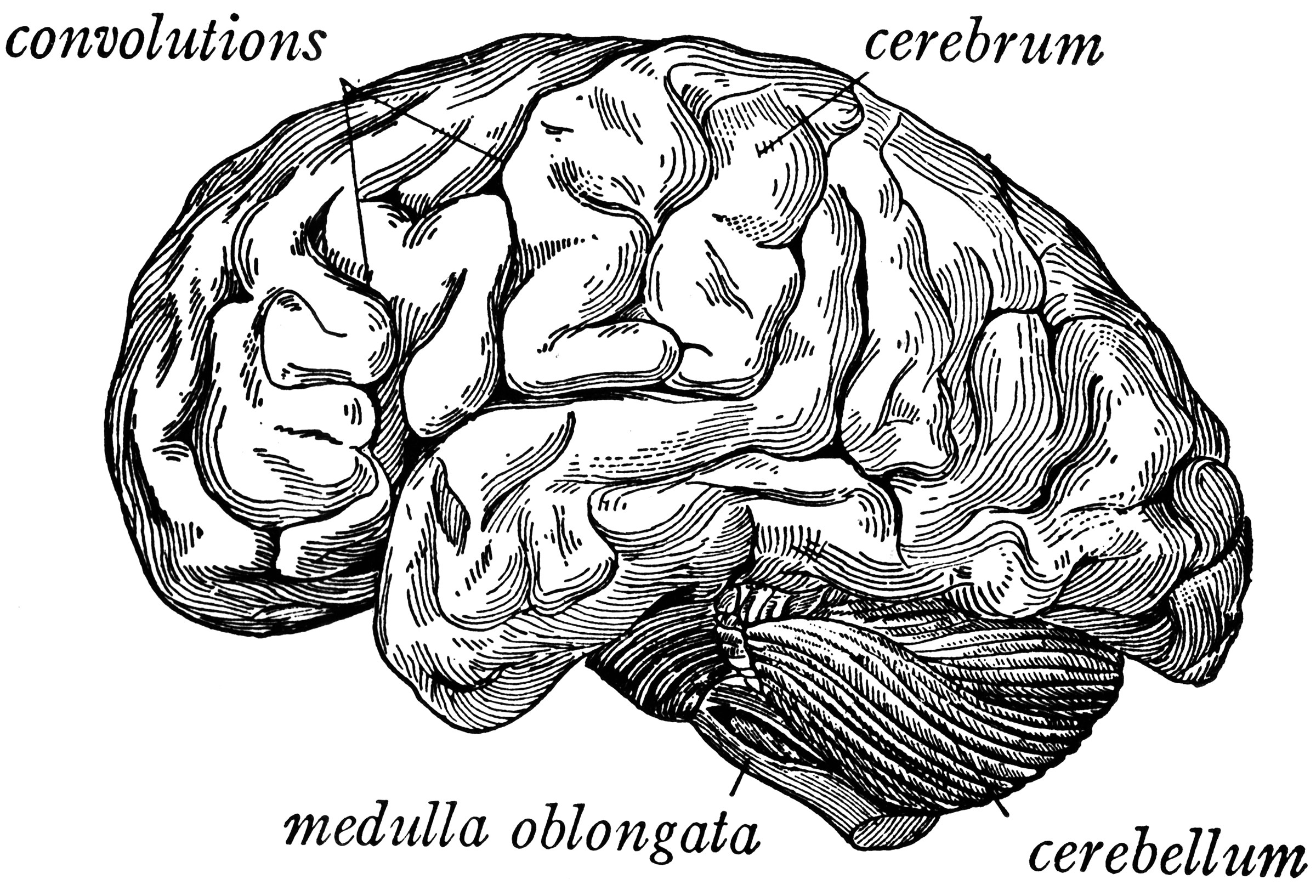 Side View Of The Brain Clipart Etc