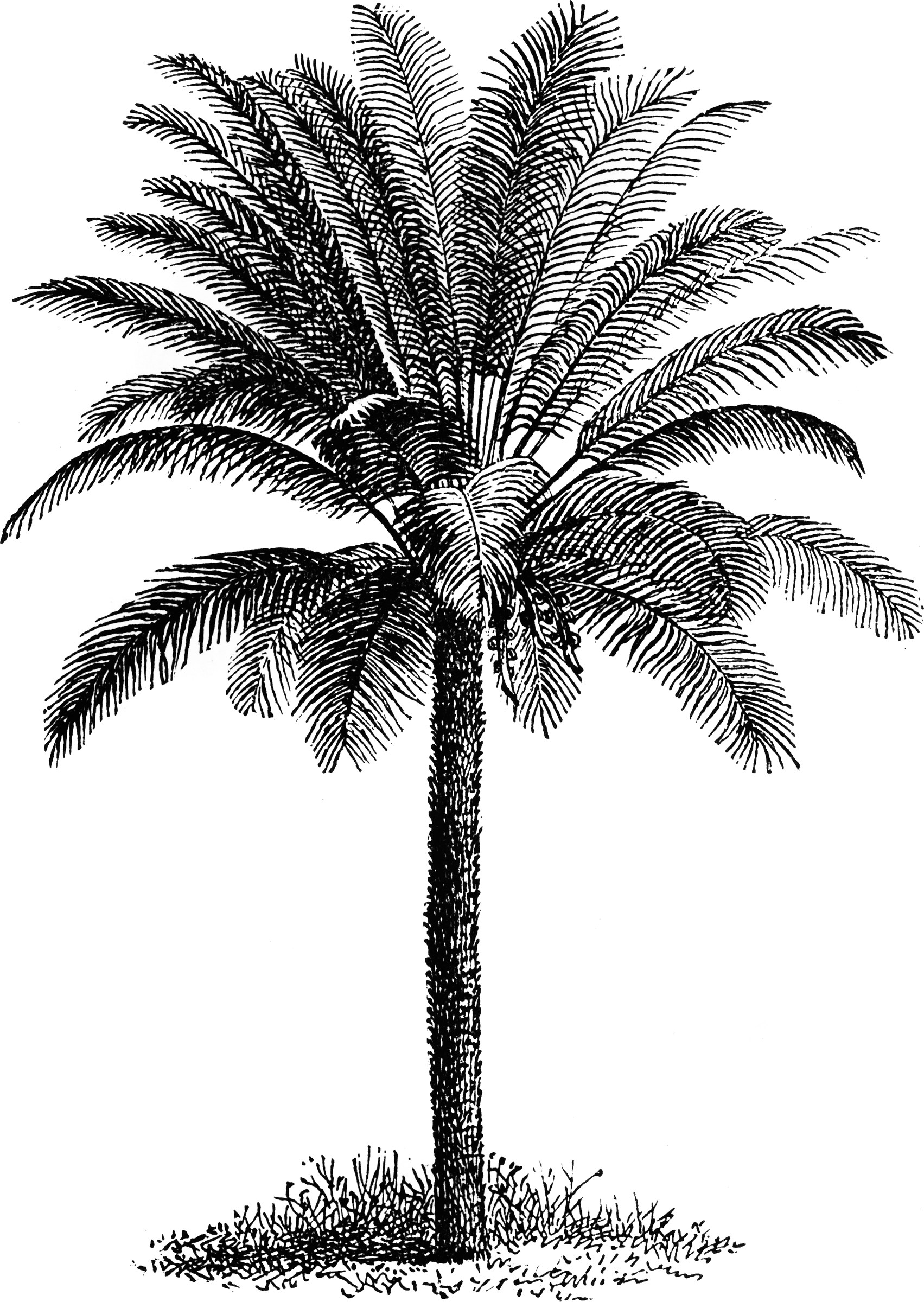 Palm Tree Clipart Etc