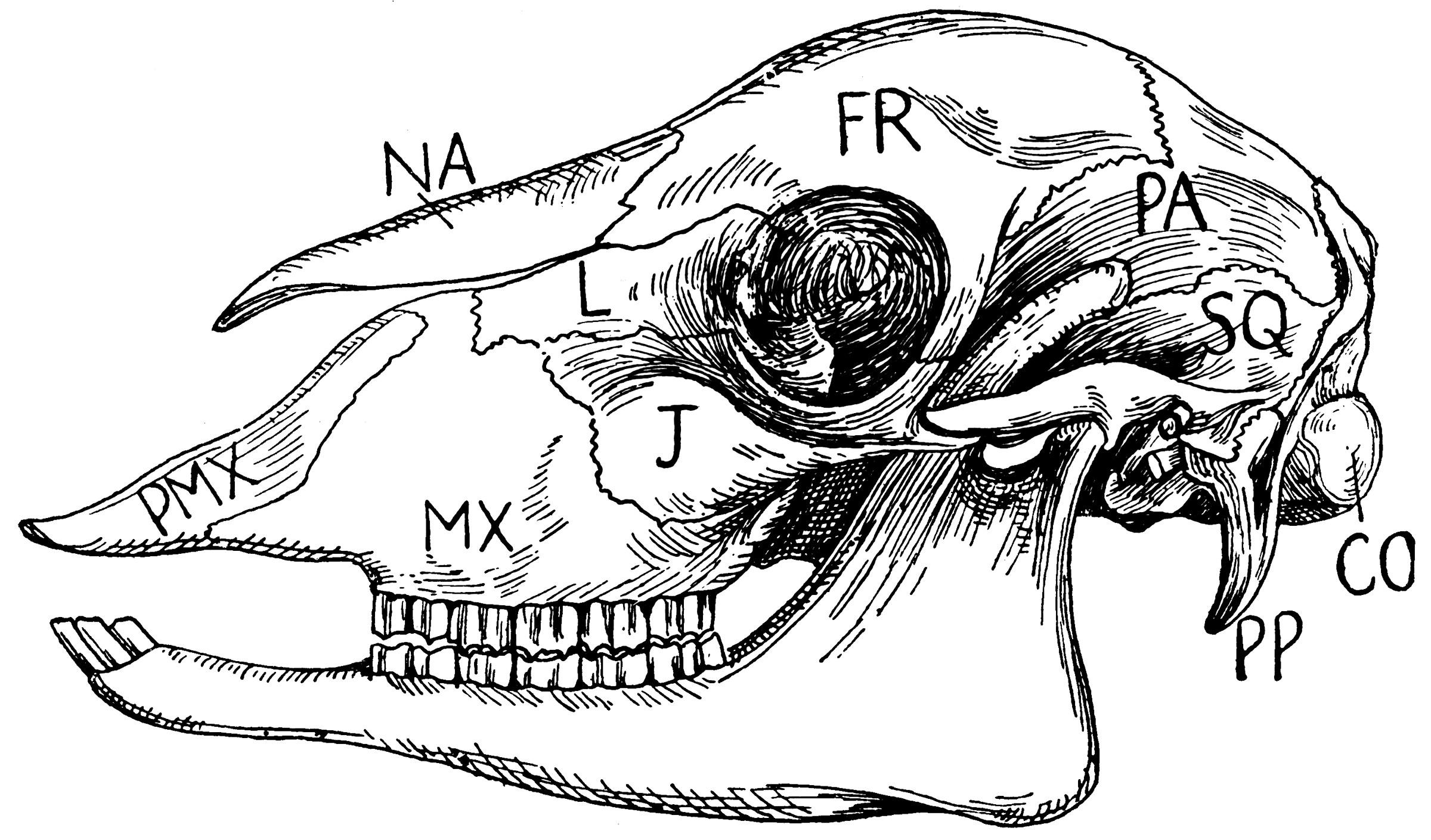 Sheep Skull Clipart Etc