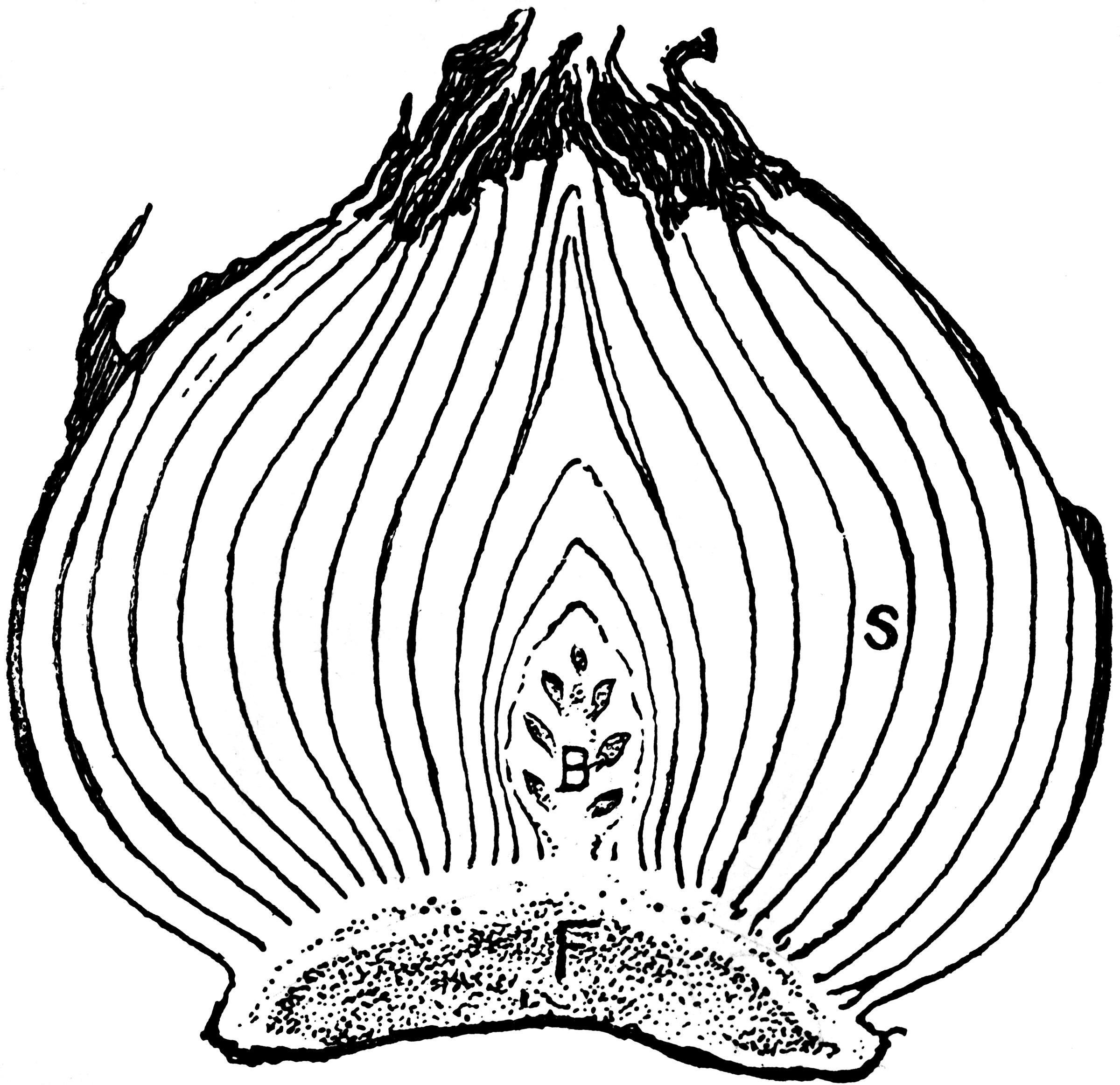 Tulip Bulb Clipart Etc