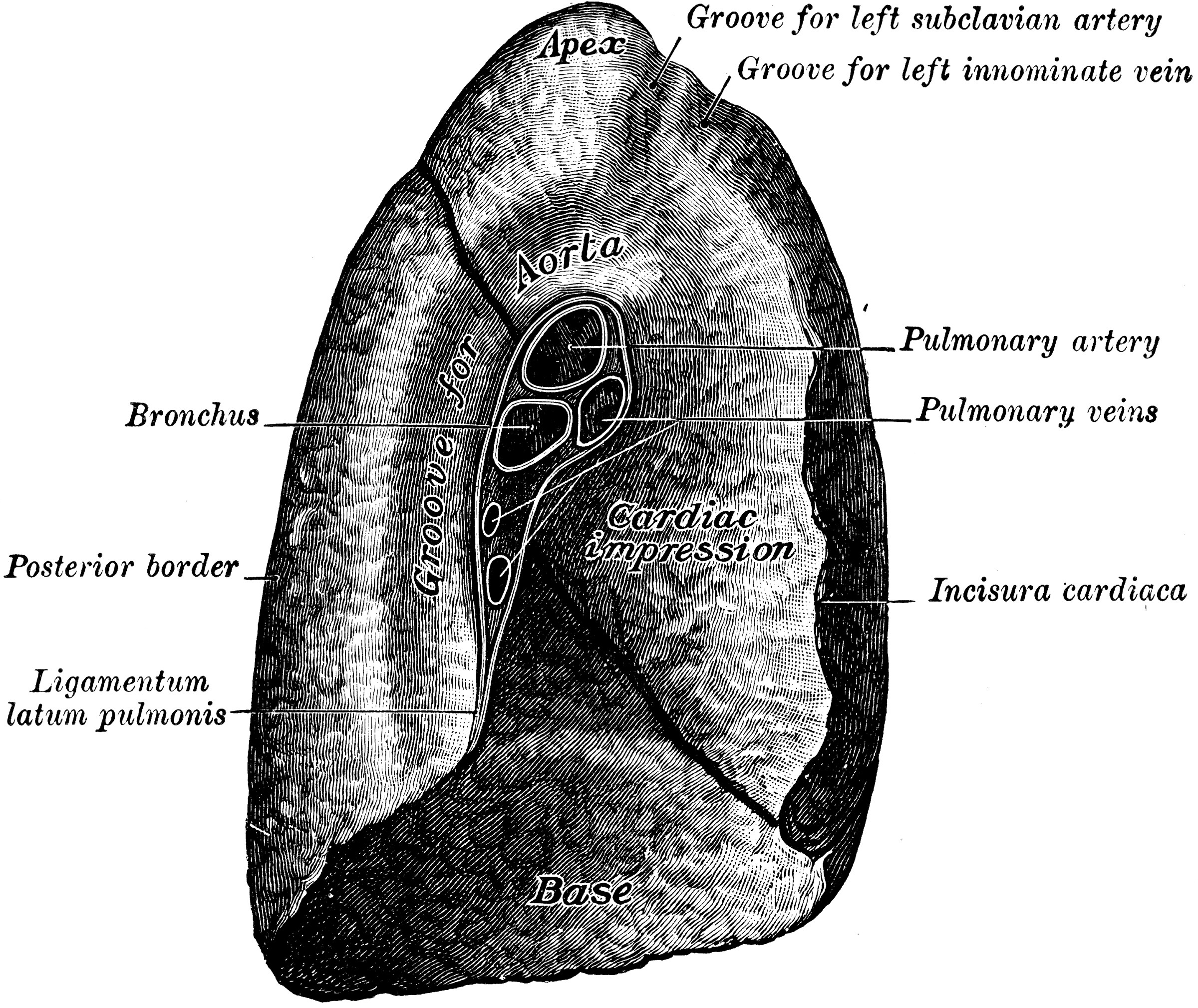 Mediastinal Surface Of The Lung Clipart Etc