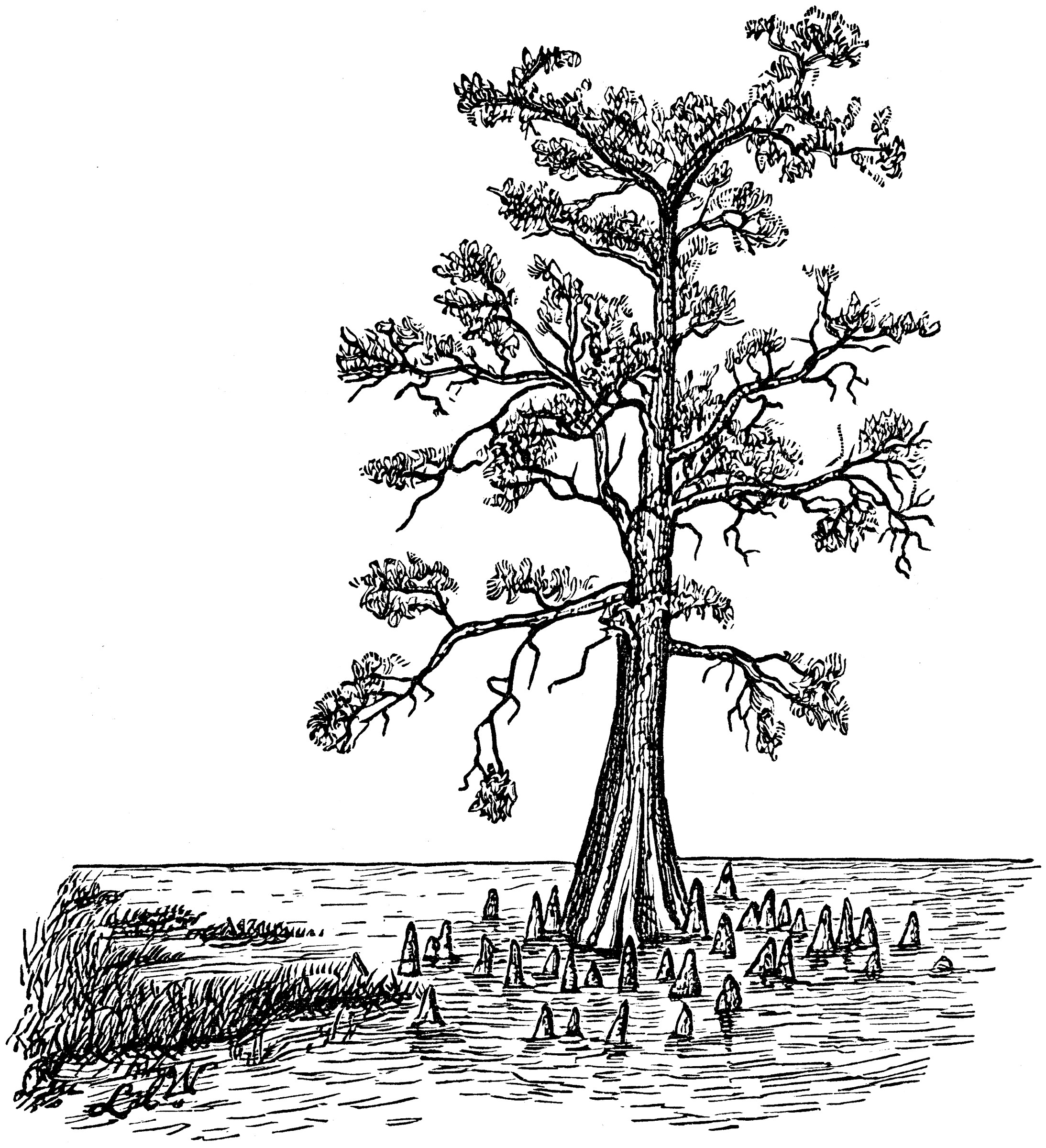 Bald Cypress in Swamp Form | ClipArt ETC