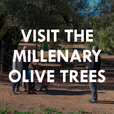 Visit the millenary olive trees
