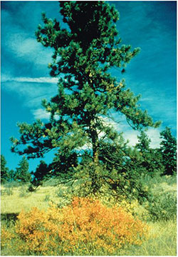 Native Trees For Colorado Landscapes 7 421 Extension
