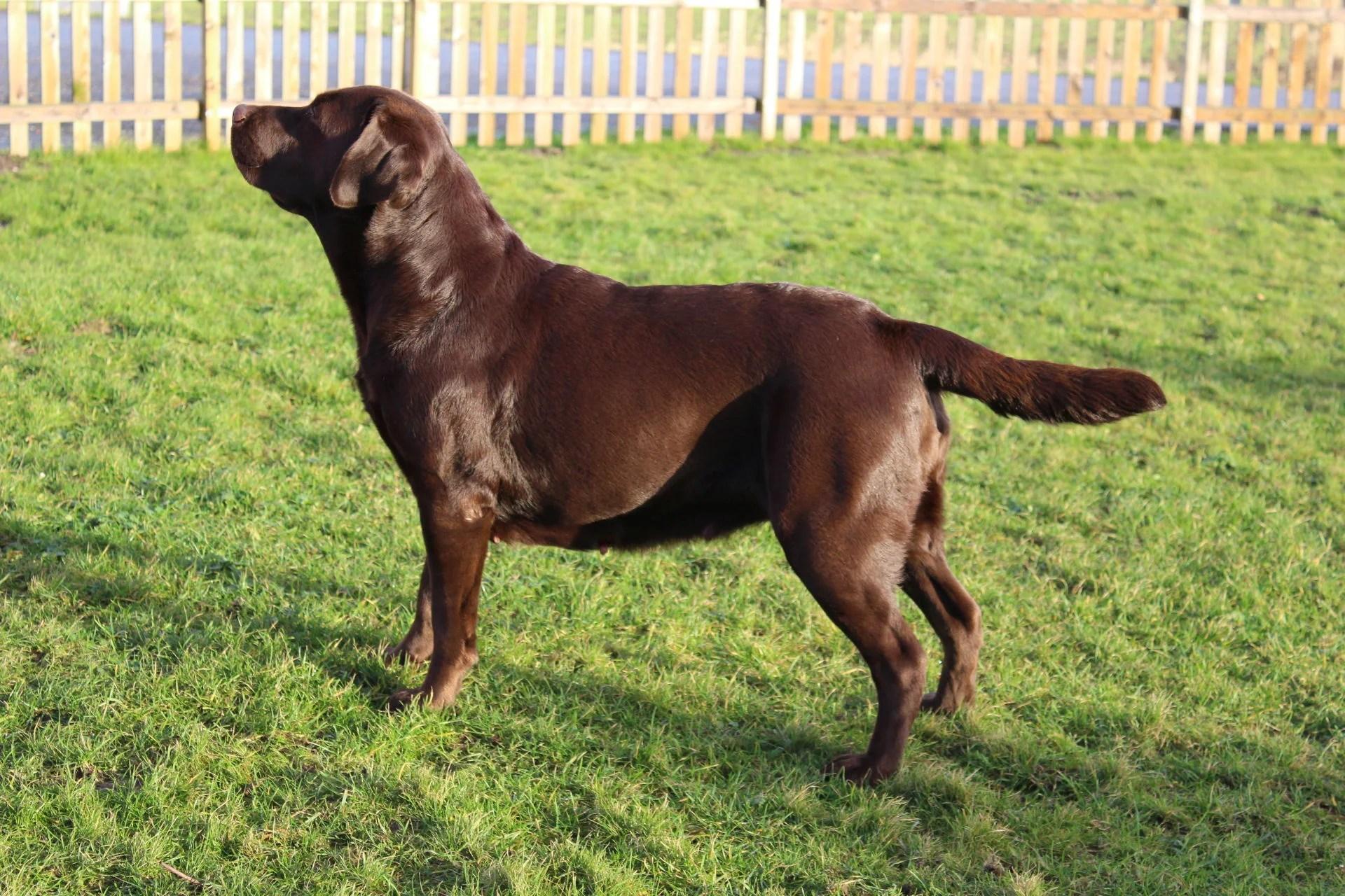 Mika Onze Honden Finally Found You Labradors