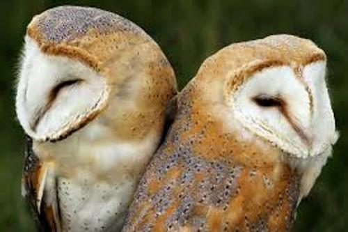 10 Facts about Barn Owls | Fact File