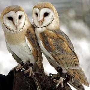 Top 15 Barn Owl Facts - Diet, Habitat & More | Facts.net