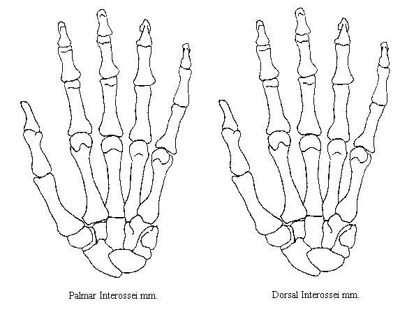 Hand Bones Diagram Blank