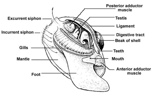 Water Snail Anatomy Diagram