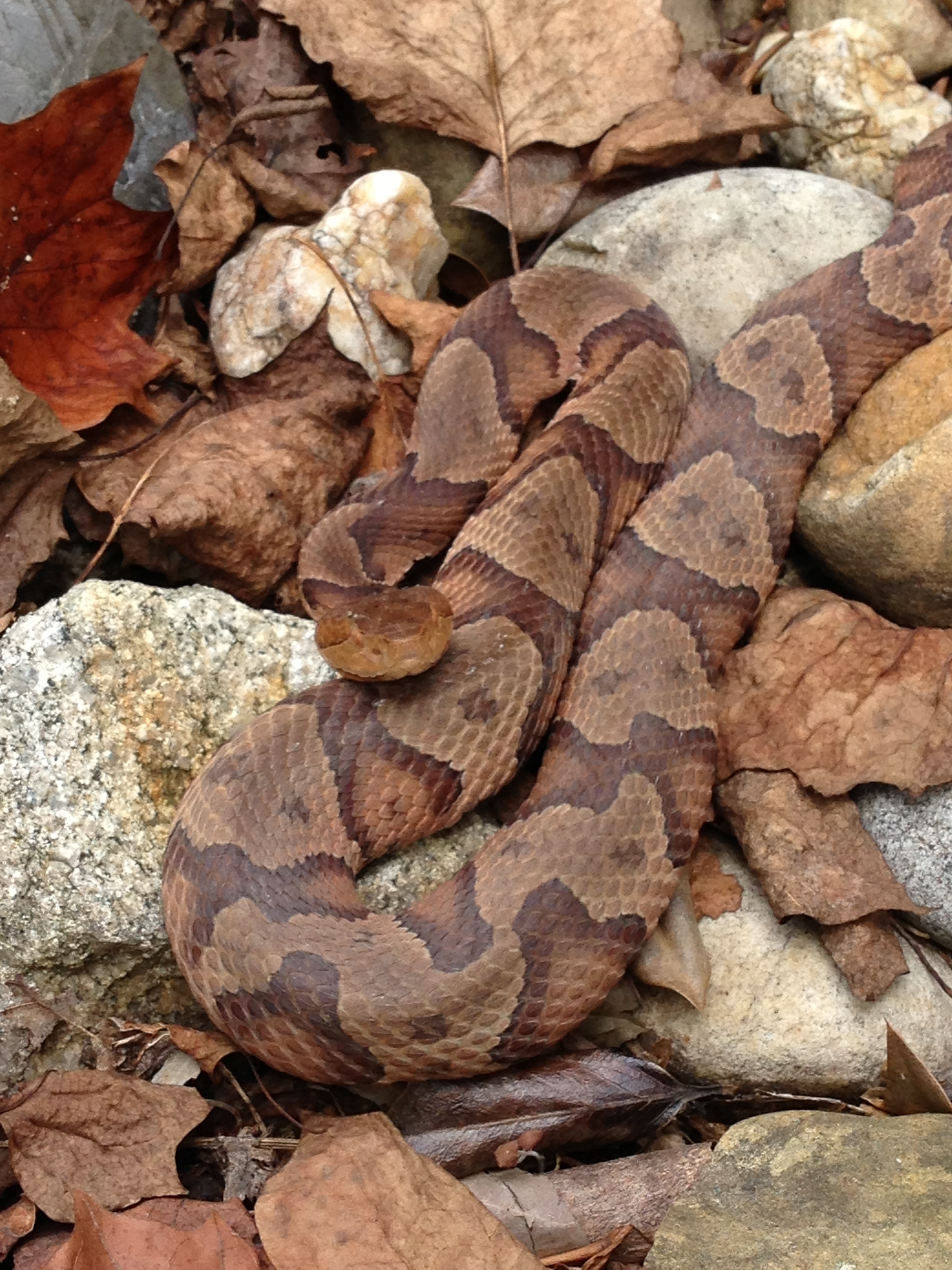 northern copperhead map - 736×981