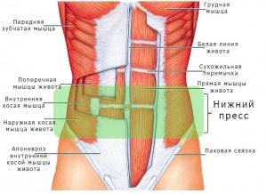 Anatomisk trykmuskelpresse