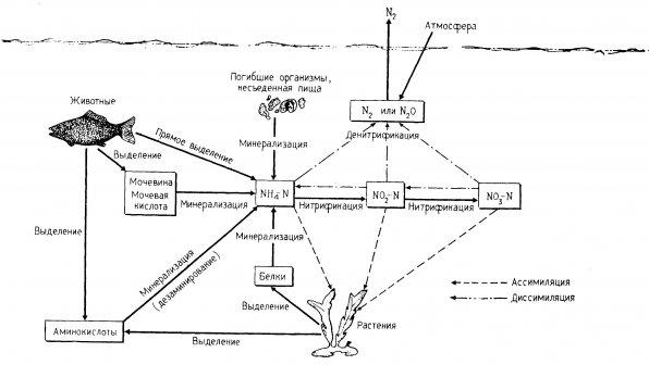 Аквариумның жабық жүйелеріндегі азот циклі