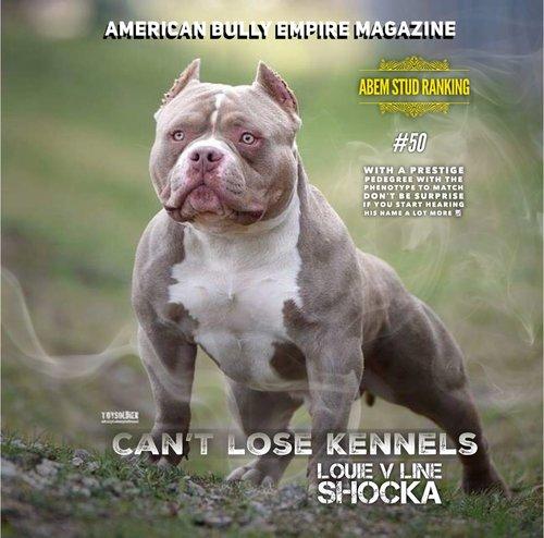 americanbully dog