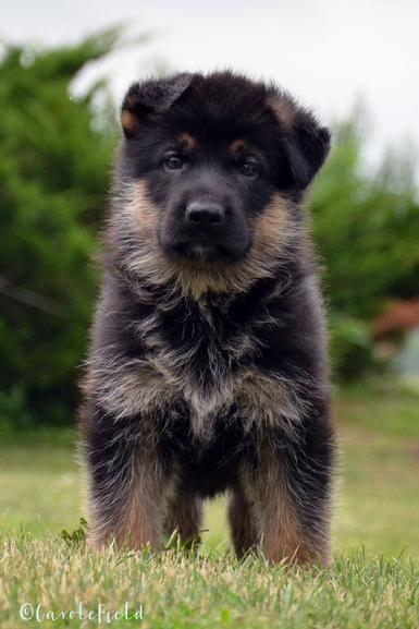 germanshepherd dog