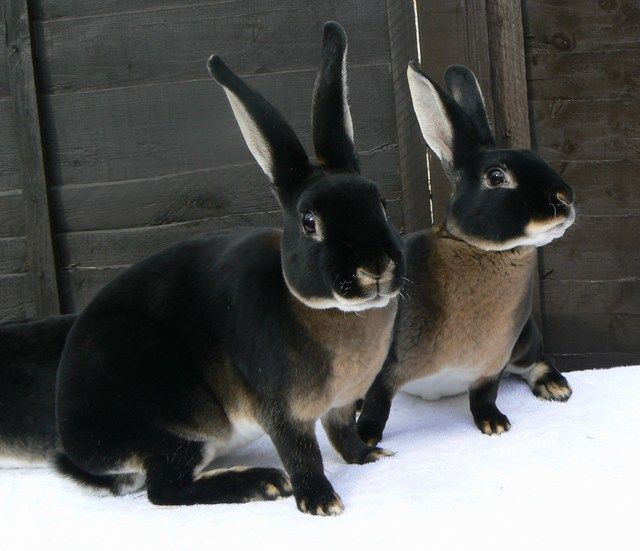 dark darkness darkbeauty gothicbeauty gothicblog goth gothic rabbit rabbits blackrabbit animal nature pet witch witches goths allblack cute cutie animals
