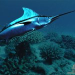 Marlin by Black Dragon  3D Digital Art  Nature Wallpaper image  Marlin  Nature  3D Digital Art  Marine ocean maritime  aquatic undersea