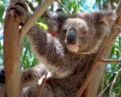 Cool Koala | Flickr - Photo Sharing!