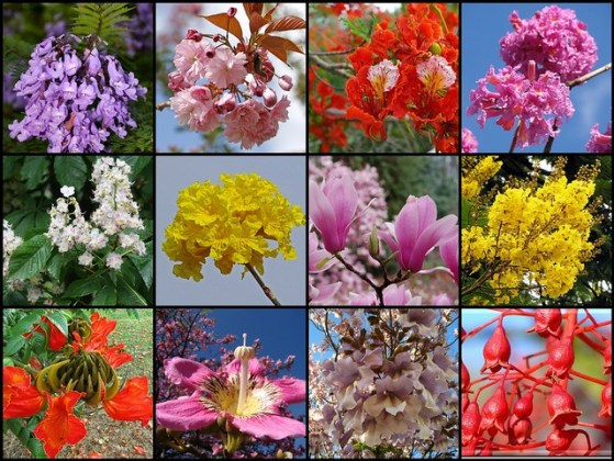 FIELD GUIDE  FLOWERING TREES of the WORLD   Flickr Most beautiful flowering trees  close up