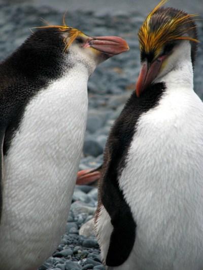 Royal penguins | Royal penguins, Macquarie Island | By ...
