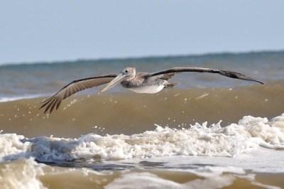 Brown pelican galveston island   Flickr - Photo Sharing!