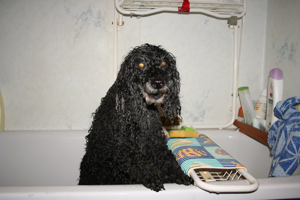 The World's Best Photos of angry and poodle - Flickr Hive Mind